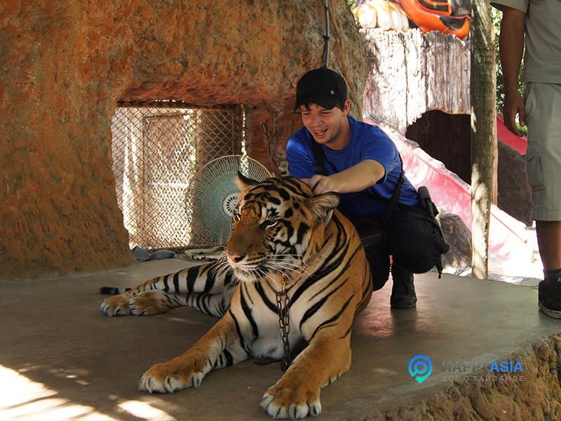 Tigri_pattaya