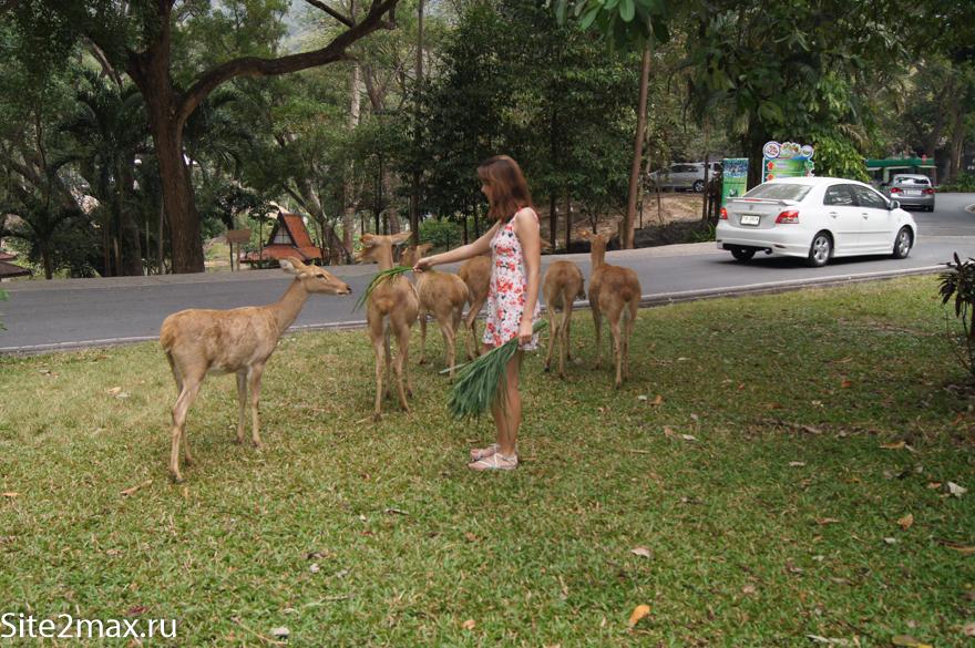 Олени в зоопарке Кхао Кхео