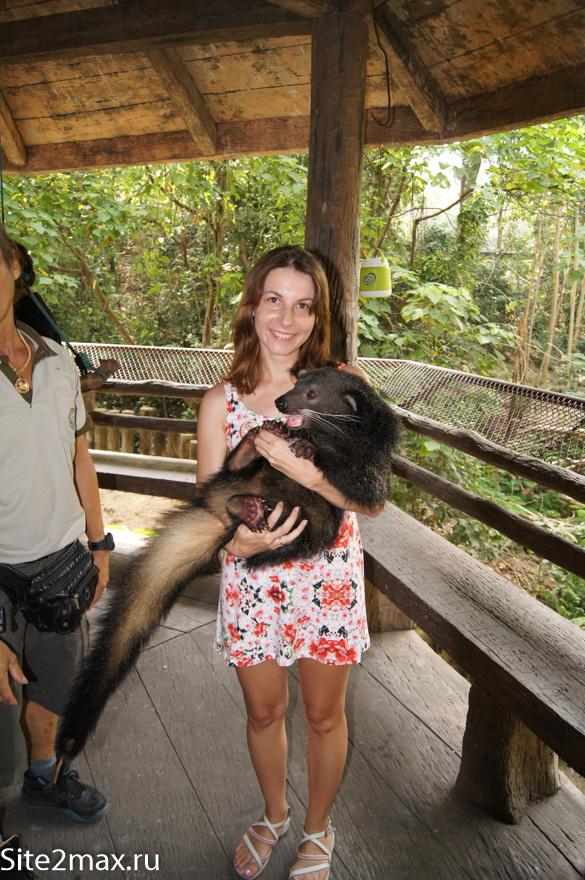 Медведокот в Кхао Кхео